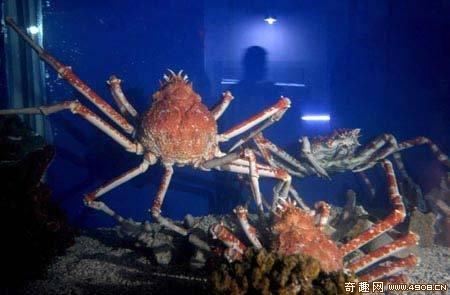 多图巨型杀人蟹惊现身成都具有超强攻击力